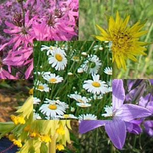 Essbare Blüten-Mix, mehrjährig, Bio