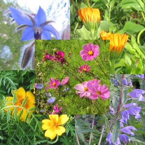 Essbare Blüten-Mix, einjährig, Bio