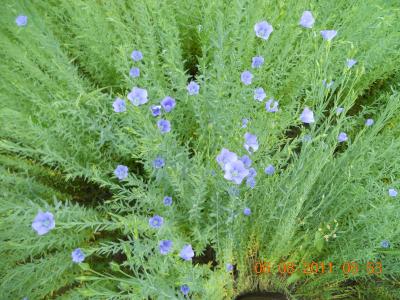 Blaublühender Lein, Bio