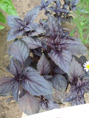 Purpur-Basilikum, Bio
