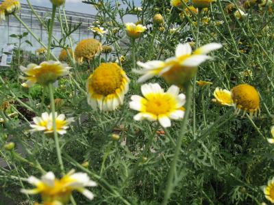 Speisechrysantheme, Bio