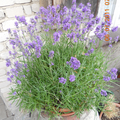 Lavendel von der Mühle, Bio