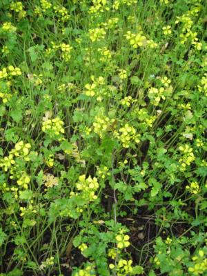 Gelbsenf, Bio