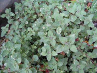 Weißblühender Borretsch, Bio