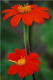 Mexikanische Sonnenblume, Bio