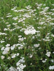 Weiße Schafgarbe, Bio