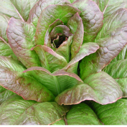 Romaine Red Cos, Bio