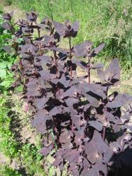 Rote Gartenmelde, Bio