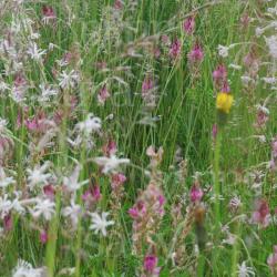 Schmetterlingsweide-Mix, Bio