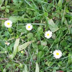 Gänseblümchen, Bio