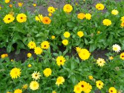 Traditionelle Ringelblumen vom Mühlenbachhof, Bio
