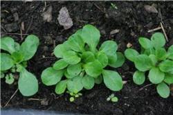 Rundblättriger Feldsalat, großsamig, Bio