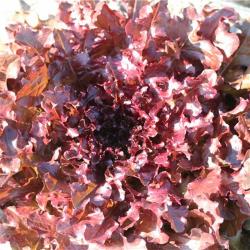 Red Salad Bowl, Bio
