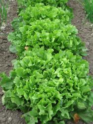 Grüner Escariol, Bio