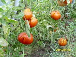 Beuteltomate, Bio, Mini-Pack