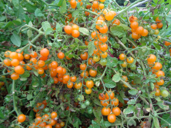 Orange Johannisbeere, Bio