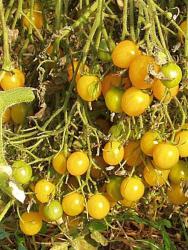 Gelbe Wildtomate, Bio