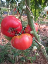 Aunt Ginny' Purple Tomato, Bio