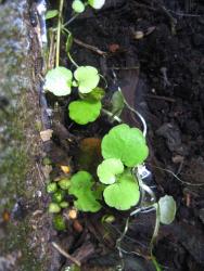 Brunnenkresse, Bio