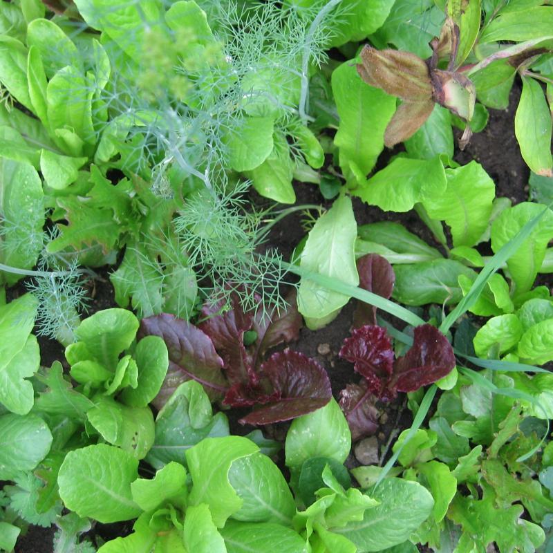 salat s en beet oder balkon salat s en pflegen und fast das ganze salat pflanzen s en und. Black Bedroom Furniture Sets. Home Design Ideas